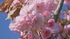Close up of sakura cherry tree branch pink flower flowers blossom Japan garden Stock Footage