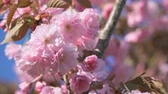 Close up sakura cherry tree branch pink flower flowers blossom Japan garden Stock Footage