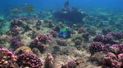 Colorful parrotfish eats hard coral - Red Sea, caridae Stock Footage