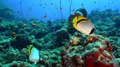 Colorful tropical fishes, underwater scene - Lined butterflyfish, Red Sea Stock Footage