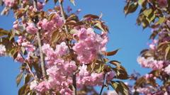 Sakura cherry tree branch pink flower flowers blossom Japan garden zoom in Stock Footage