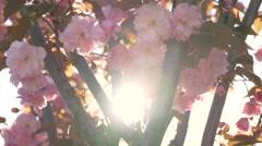 Cherry sakura tree pink flowers branch blossom back lit backlit backlight sun Stock Footage