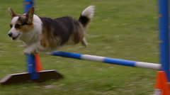 Small dog in agility contest Stock Footage