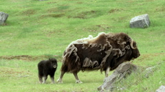 Musk ox shedding and calf walking in field Stock Footage