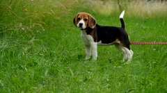Beagle puppy on green grass Stock Footage