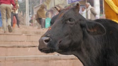 Cow ruminating on ghats,Varanasi,India Stock Footage