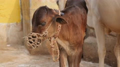 Indian calf with rope muzzle,Varanasi,India Stock Footage
