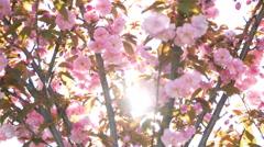 Cherry sakura tree pink flowers branch blossom back lit backlit backlight light Stock Footage