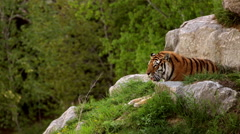 Two tigers resting on hill Stock Footage