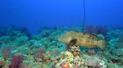 Mating fight of two rival grouper fish - underwater shot, Red Sea, Shaab Rumi Stock Footage