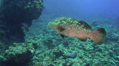 Grouper fish swimming over coral reef - underwater shot, Red Sea Stock Footage