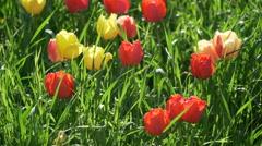 Yellow pink red tulips tulipa tulip flower flowers field lawn garden green grass Stock Footage