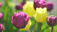 Purple violet yellow tulips tulip tulipa field Holland Amsterdam green spring Stock Footage