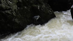 Heron bird fishing by a fast flowing river Stock Footage