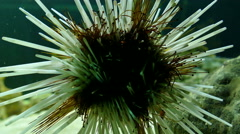 Sea urchin in water tank Stock Footage