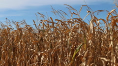 Ripe field corn rustling in the breeze. Stock Footage