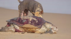 Ugly dog eating dead turtle,Puri,India Stock Footage