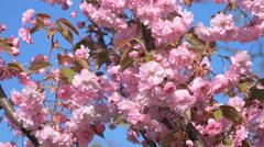 Sakura cherry tree branch pink flower flowers blossom Japan garden background Stock Footage