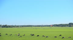Dutch meadow with dairy cattle in morning sun Stock Footage