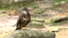 A Red-tailed hawk sitting on a rock Stock Footage
