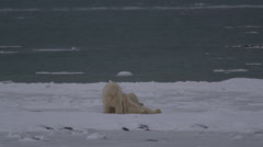 Slow motion - polar bears wrestle on sea ice next to water Stock Footage