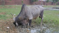 Big bull in mud,Bhubaneswar,India Stock Footage