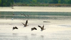 Flock of Canadian Geese flying low over river, slow motion Stock Footage