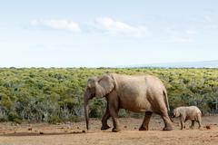 Long Walk To Free  Freedom - African Bush Elephant Stock Photos
