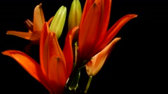 Orange Asiatic Lily Flower Timelapse Stock Footage