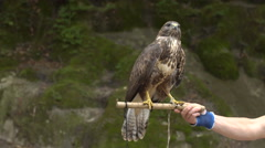 Hawk on arm of person Stock Footage