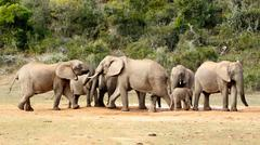 Mine is BIG and yours is - The African Bush Elephant Stock Photos