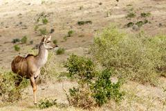 Kudu Lady Looking for Love - Tragelaphus strepsiceros Stock Photos