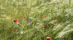 Ukrainian landscape, poppy field with green spikelets of wheat. RAW video record Stock Footage