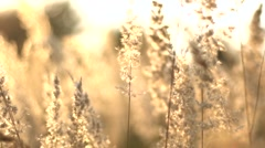 Grass swaying in the breeze at sunset Stock Footage