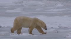 Slow motion - polar bear walking along rocky sea ice and sits Stock Footage