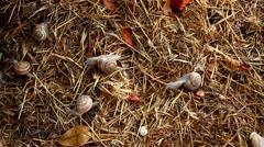 Garden snail on straw Stock Footage