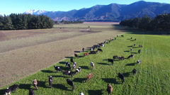 Aerial view of cows grazing on scenic farm Stock Footage