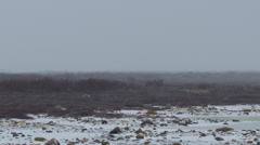 Scenic - snow storm over arctic willow and snowy rocks Stock Footage
