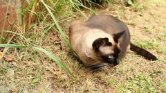 Siamese cat vomit grass and fur Stock Footage