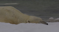 Close on polar bear sleeping in beach snow and joined by friend Stock Footage