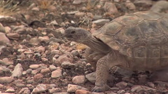 Endangered desert tortoises in their native habitat. Stock Footage
