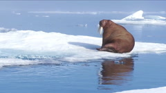 Walrus live in a natural ice habitat in the Arctic. Stock Footage
