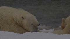 Slow motion - close on polar bears sleeping on snowy beach Stock Footage
