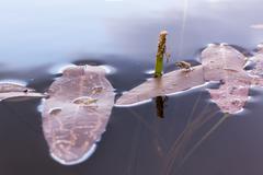 Floating leaves of Sagittaria natans aquatic plant with a spider and two beetles Stock Photos