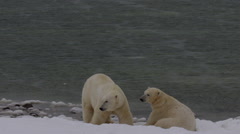 Slow motion - two polar bears waiting on snowy beach in storm Stock Footage