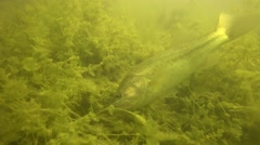 Largemouth Bass foraging Stock Footage