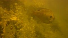 Sunfish swimming Stock Footage