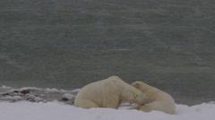 Slow motion - Two polar bears gently bight on snowy beach Stock Footage