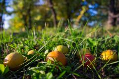 Harvest of healthy organic small pears on the grass in the garden Stock Photos