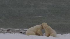 Slow motion - two polar bears battle on snowy beach next to bay Stock Footage